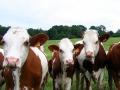 Le fermier et ses vaches...
