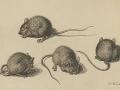 Les souris...
