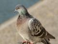 Le pigeon biset, mal aimé des citadins ?...