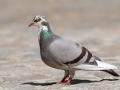Le pigeon...