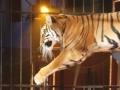 Tigre errant dans Paris : le directeur du cirque s'explique...